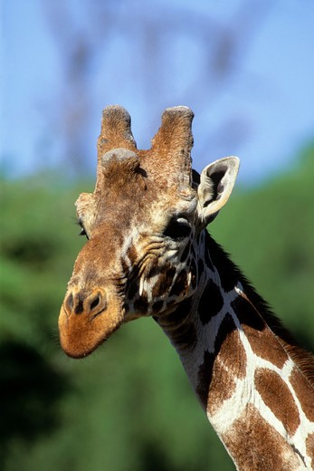 Stock Photo: 4168-1389 KENYA, SAMBURU, RETICULATED GIRAFFE, CLOSE-UP