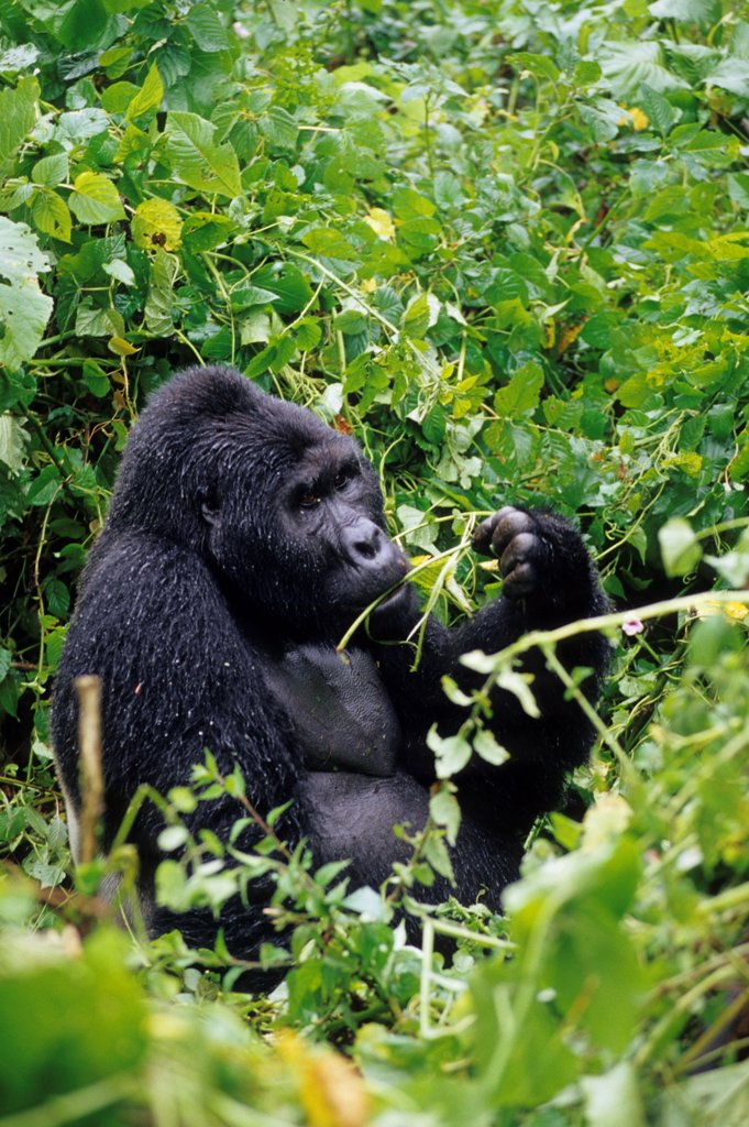 Uganda, Bwindi Impenetrable Forest, Mountain Gorillas, Silverback Sitting In Rain : Stock Photo