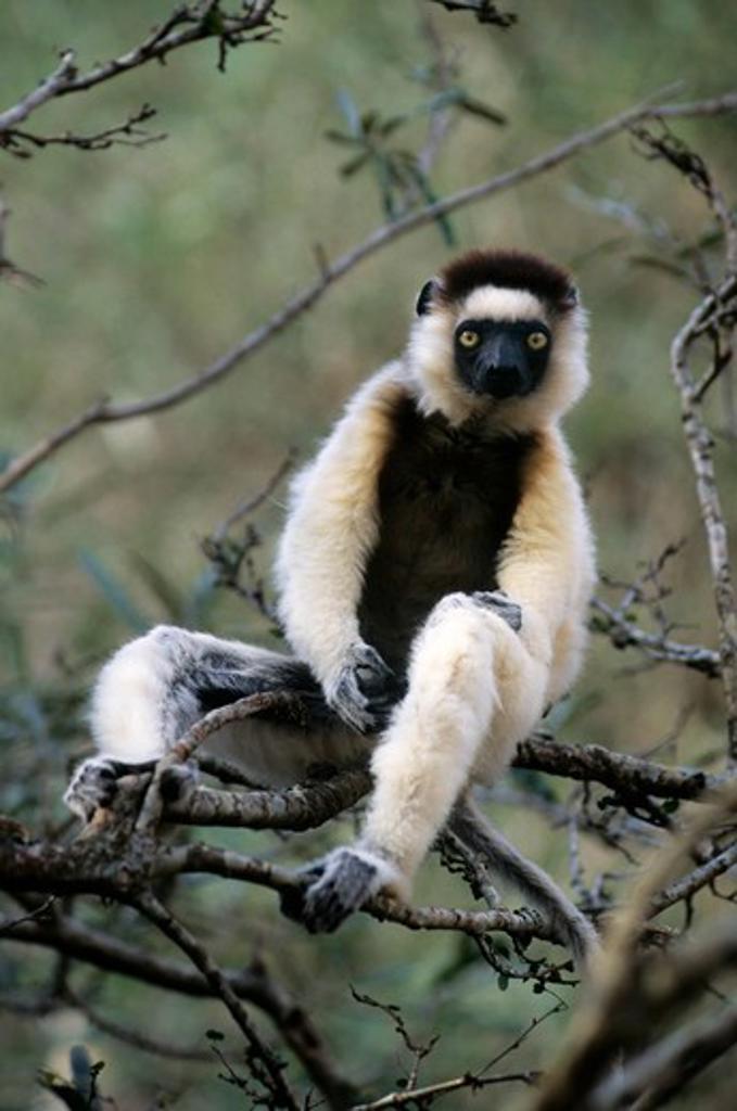 Stock Photo: 4168-1405 MADAGASCAR, BERENTY, VERREAUX SIFAKA LEMUR IN TREE