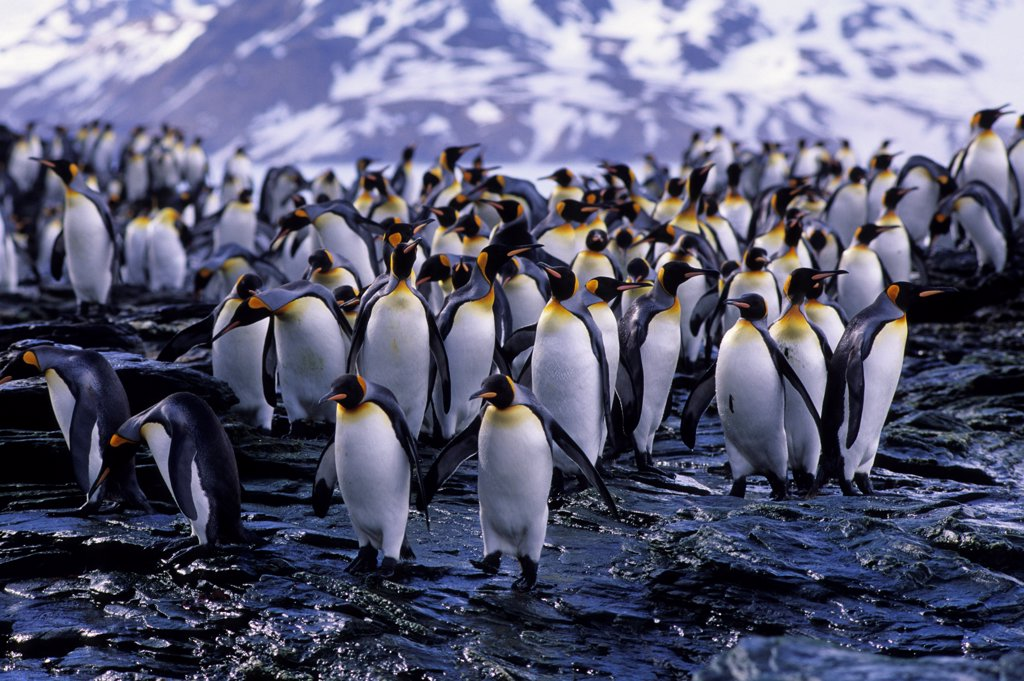 Stock Photo: 4168-14122 So. Georgia Is.,St.Andrews Bay, King Penguins On Rocks Going/Coming From Sea