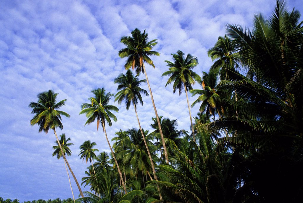 Asia, Indonesia, Sumatra, Nias Island, Coconut Palm Trees : Stock Photo