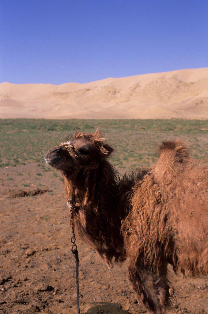 Stock Photo: 4168-14269 Mongolia,  Near Dalanzadgad, Gobi Desert At Khongoryn Els (Sand Dunes), Bactrian Camel Baby
