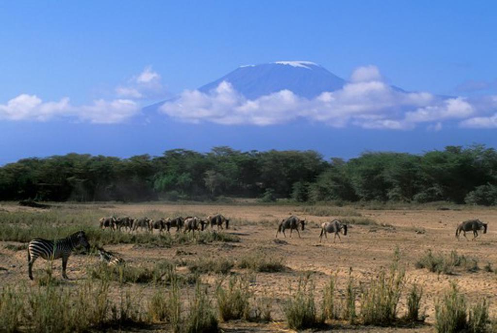 KENYA, AMBOSELI NATIONAL PARK, WILDEBEESTE, ZEBRAS WITH MT. KILIMANJARO IN BACKGROUND : Stock Photo