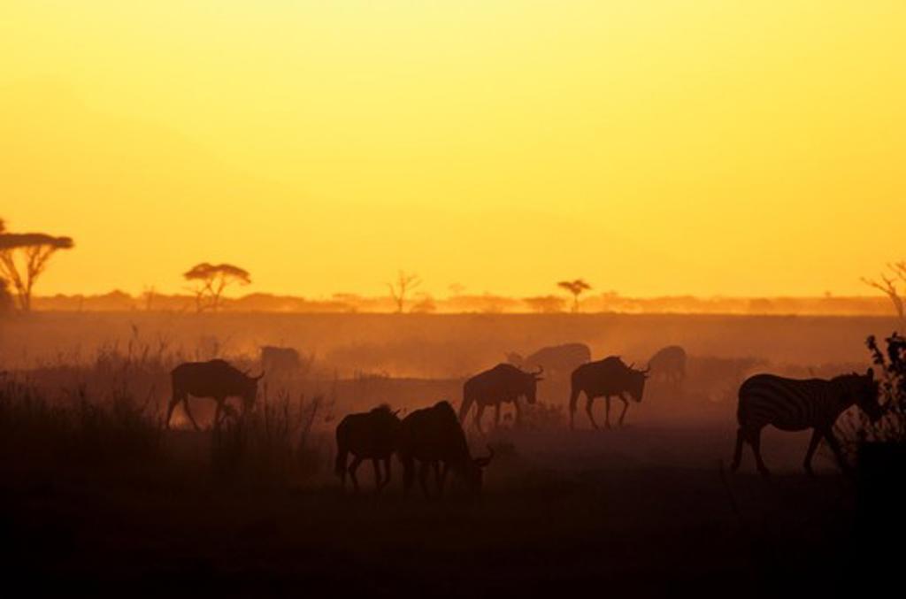 KENYA, AMBOSELI NATIONAL PARK, ZEBRAS AND WILDEBEESTE AT SUNSET : Stock Photo