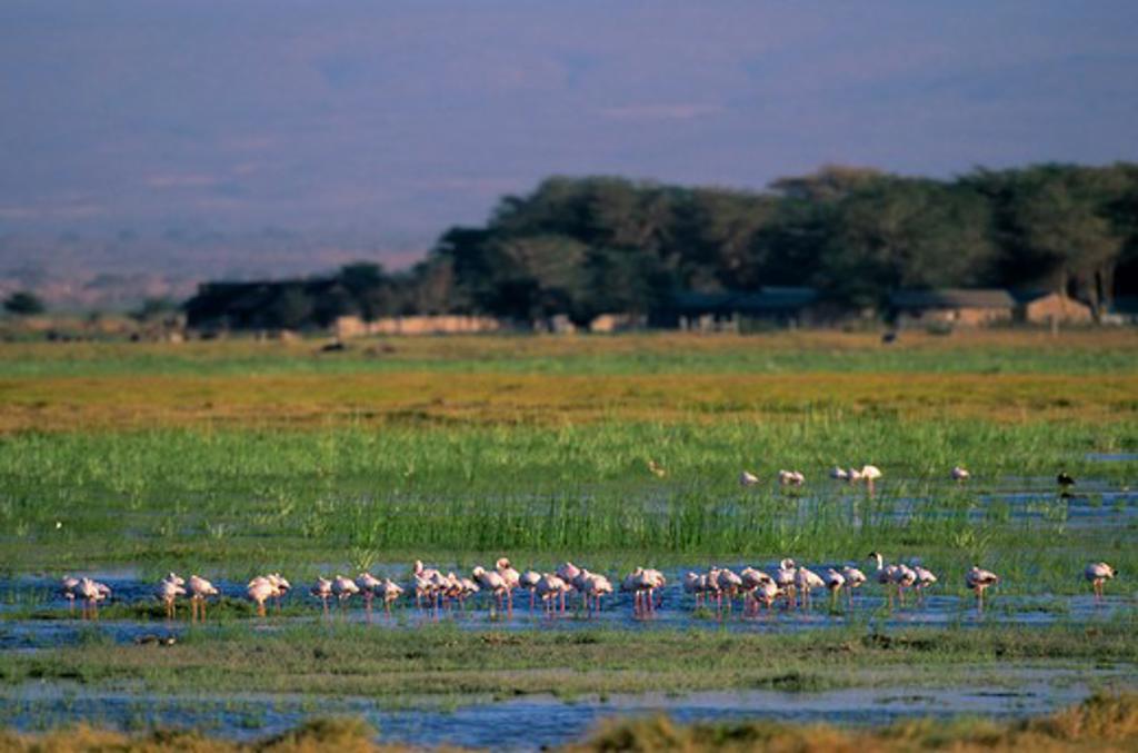 KENYA, AMBOSELI NATIONAL PARK, LESSER FLAMINGOS IN SWAMP : Stock Photo