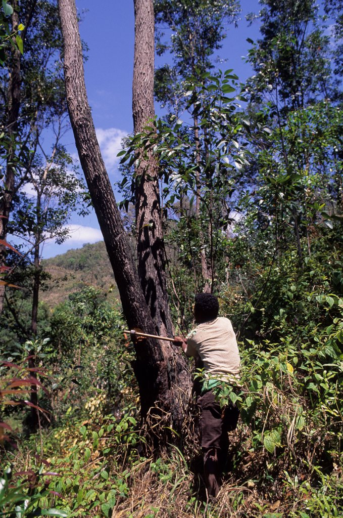 Stock Photo: 4168-14905 Madagascar, Near Moramanga, Mandraka, Man Cutting Tree For Charcoal Production