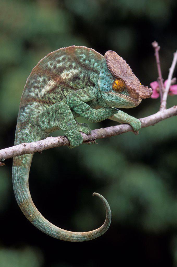 Madagascar, Near Moramanga, Mandraka, Male Parson'S Chameleon (Calumma P. Parsonii) : Stock Photo