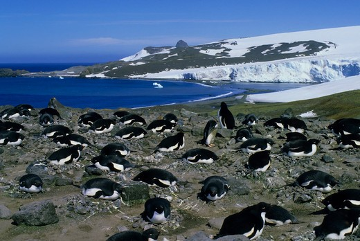 ANTARCTICA, KING GEORGE ISLAND, ADELIE PENGUIN COLONY, PENGUINS INCUBATING EGGS : Stock Photo