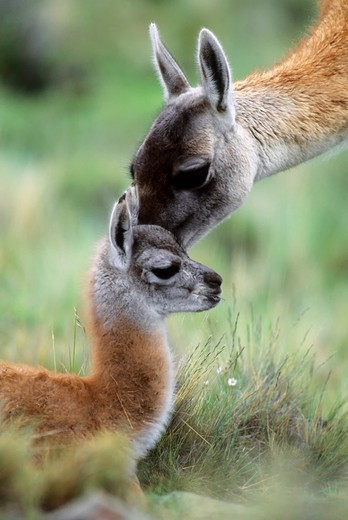 Stock Photo: 4168-1929 CHILE, TORRES DEL PAINE NAT'L PARK, GUANACOS, BABY (CHULENGO), WITH MOTHER GETTING SCENT