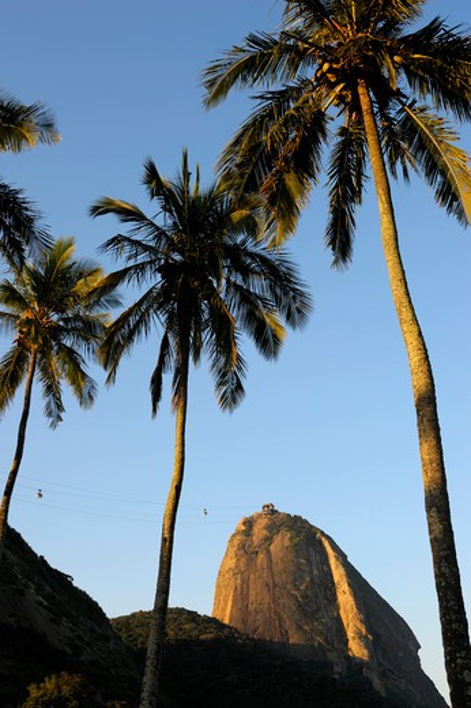 Brazil, Rio De Janeiro, Vermelha Beach, View Of Sugarloaf Mountain, Coconut Palm Trees : Stock Photo
