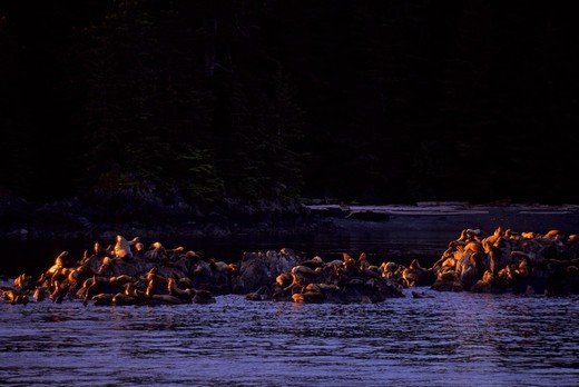 Stock Photo: 4168-3312 Usa, Alaska, Inside Passage, Frederick Sound, Near Admirality Island, Brothers Island, Steller's Sea Lions In Evening Sunshine