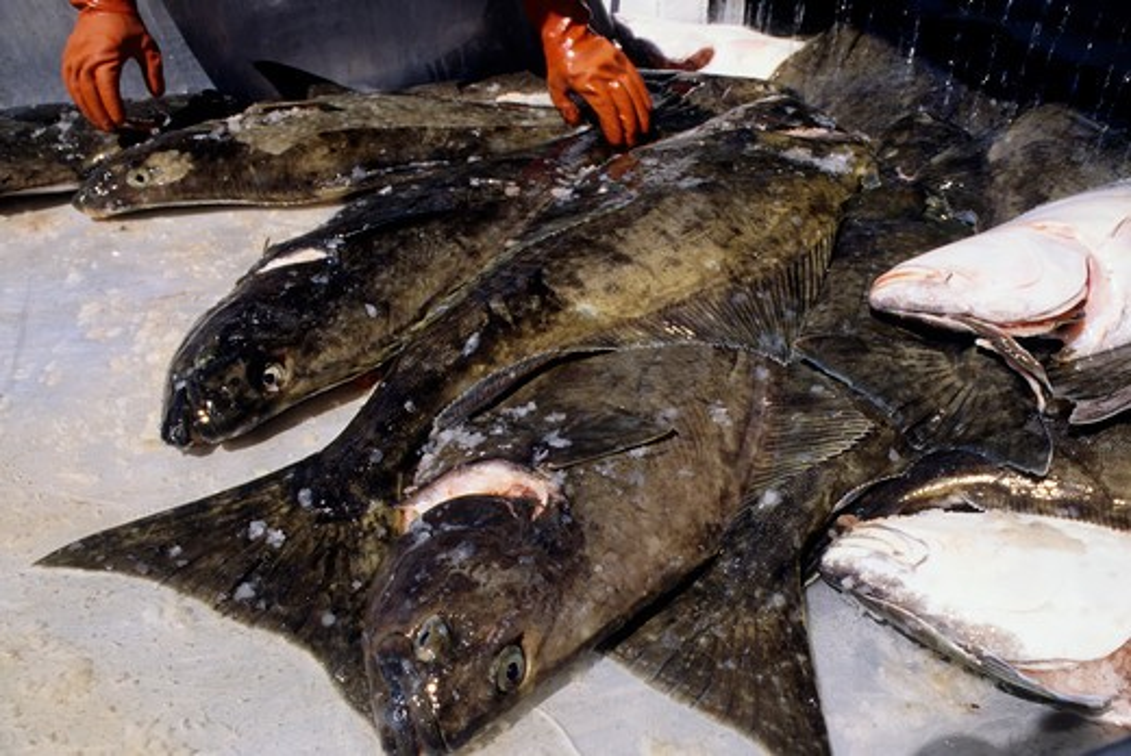 Stock Photo: 4168-3353 Usa, Alaska, Inside Passage, Baranof Island, Sitka, Fish Factory, Halibut