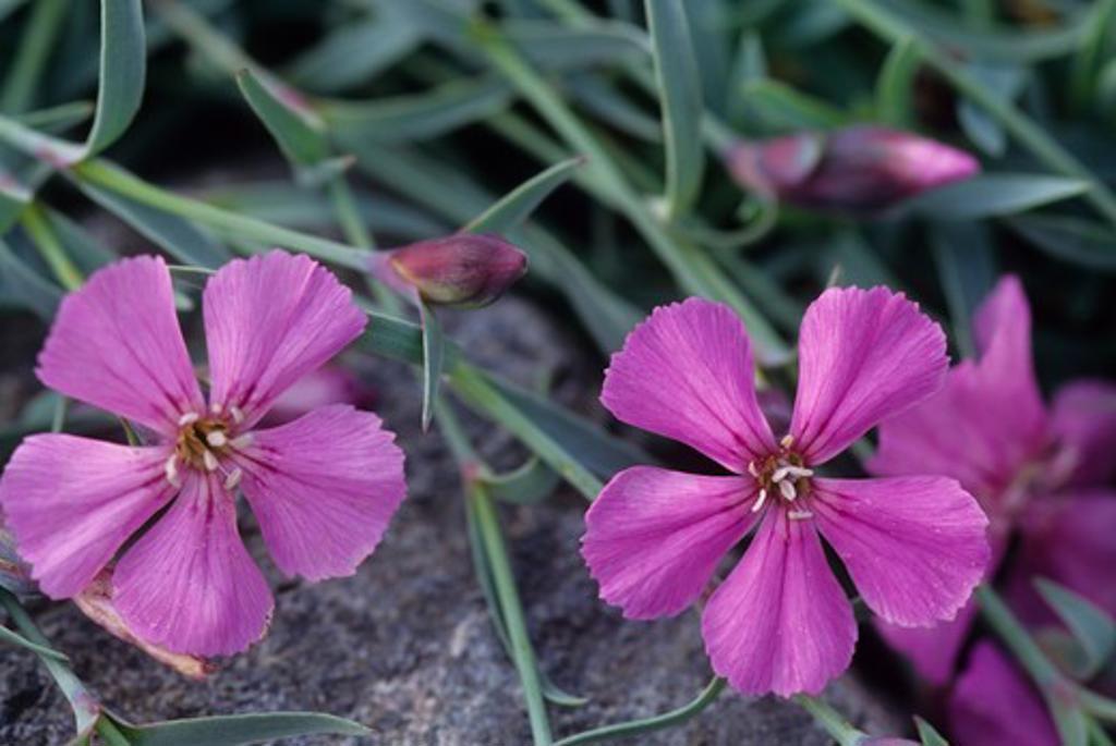 Stock Photo: 4168-3563 Usa, Alaska, Homer, Pratt Museum, Botanical Garden, Carnation, Dianthus Repeus