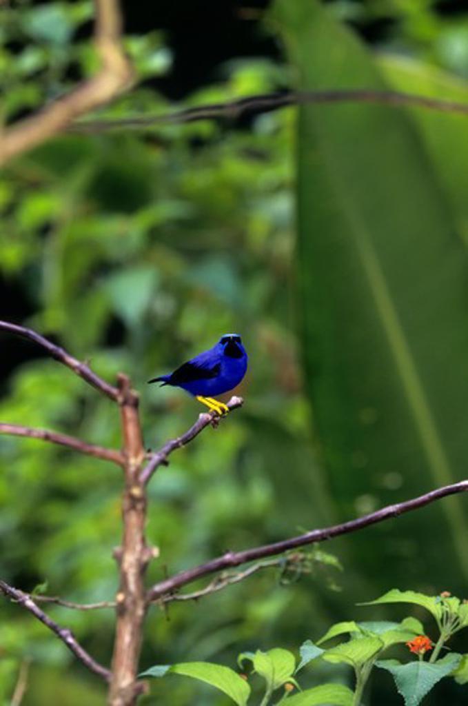 Trinidad, Asa Wright Nature Ctr, Purple Honey Creeper, Male : Stock Photo