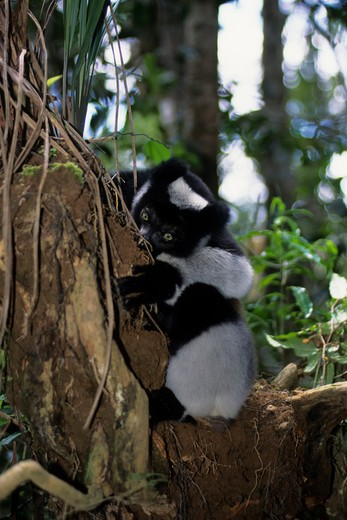 Madagascar, Perinet Reserve, Indri feeding on dirt to get minerals : Stock Photo