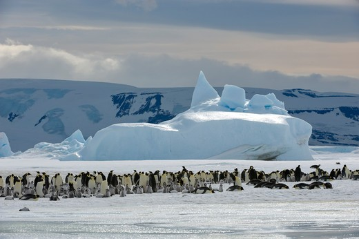 Stock Photo: 4168-5019 antarctica, weddell sea, snow hill island, emperor penguin colony aptenodytes forsteri on fast ice