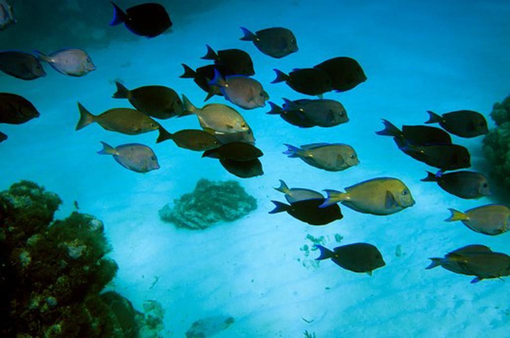Stock Photo: 4168-5182 honduras, bay islands, roatan island, tabyana beach, school of blue tang fish