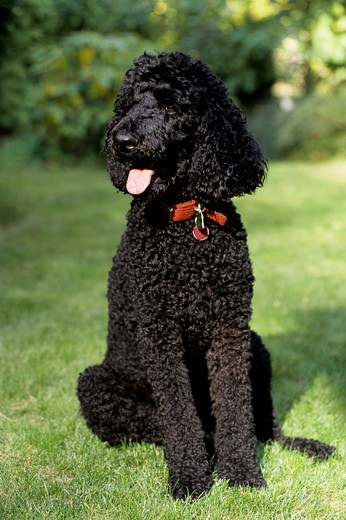 usa, 2 year old, male, standard poodle : Stock Photo
