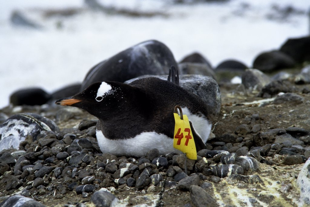 ANTARCTICA, KING GEORGE ISLAND, GENTOO PENGUIN COLONY, WITH MARKED NESTS FOR RESEARCH : Stock Photo