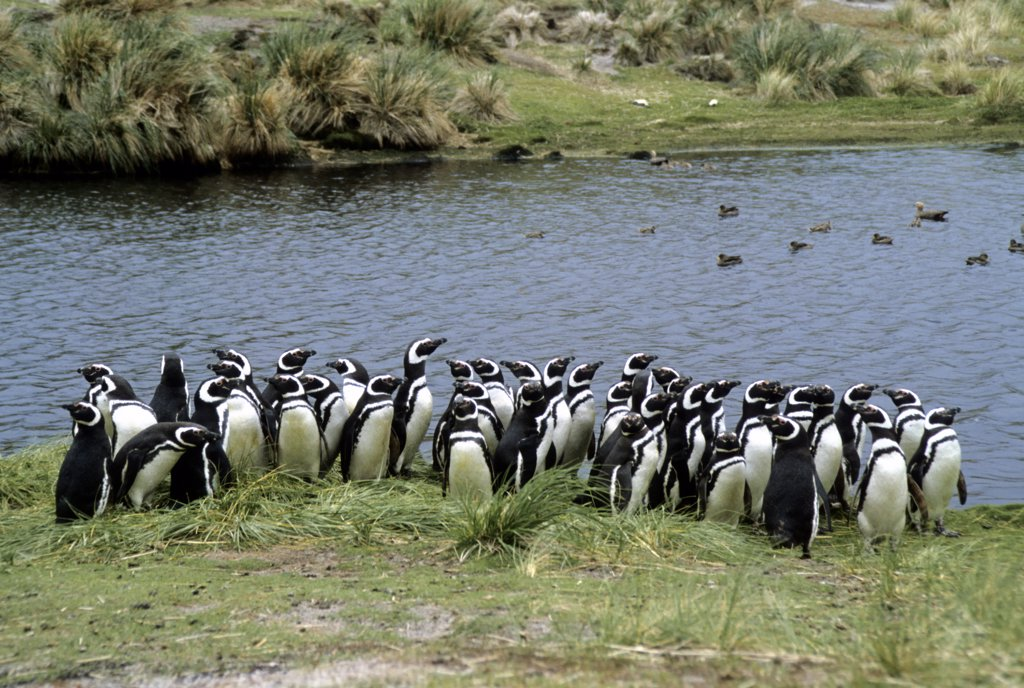 Stock Photo: 4168-5487 FALKLAND ISLANDS, CARCASS ISLAND, MAGELLANIC PENGUINS
