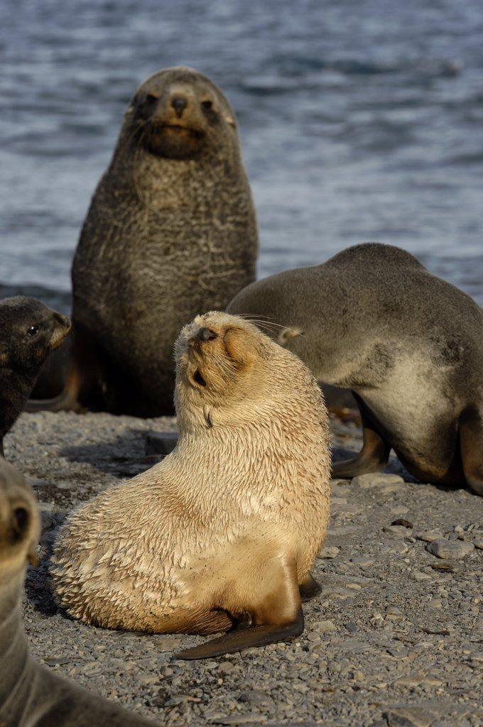 Stock Photo: 4168-5726 SOUTH GEORGIA ISLAND, STROMNESS BAY, BEACH WITH FUR SEALS, BLONDE PHASE