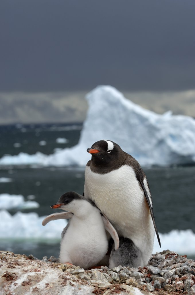 ANTARCTICA, ANTARCTIC PENINSULA, NEKO HARBOUR, GENTOO PENGUIN COLONY, PENGUIN WITH CHICKS : Stock Photo