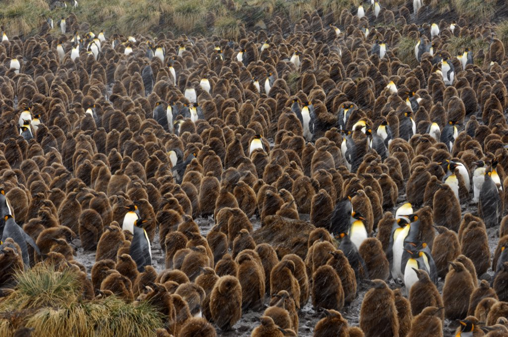 SOUTH GEORGIA ISLAND, GOLD HARBOUR, KING PENGUIN COLONY  (Aptenodytes patagonicus) WITH CHICKS ABOUT 10 MONTH OLD, SNOWING : Stock Photo