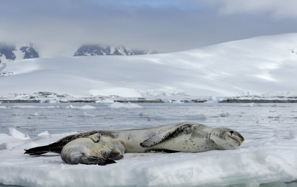 ANTARCTICA, ANTARCTIC PENINSULA, PLENEAU ISLAND, LEOPARD SEAL WITH BABY ON ICEFLOE : Stock Photo