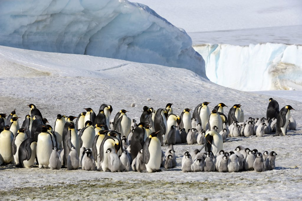 Stock Photo: 4168-6209 ANTARCTICA, WEDDELL SEA, SNOW HILL ISLAND, EMPEROR PENGUINS Aptenodytes forsteri, COLONY WITH CHICKS