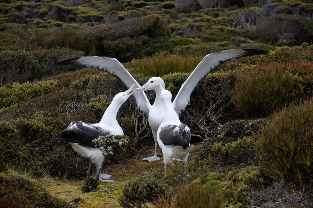 NEW ZEALAND, SUBANTARCTICA, ENDERBY ISLAND, GROUP OF SOUTHERN ROYAL ALBATROSS (Diomedea epomophora  epomophora) GAMMING, COURTSHIP BEHAVIOR : Stock Photo