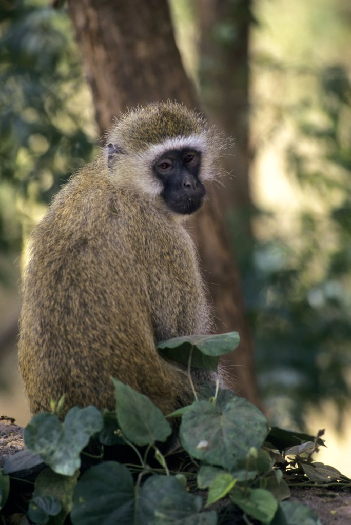 kenya, amboseli national park, vervet monkey : Stock Photo