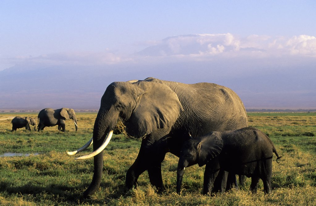 Stock Photo: 4168-6490 kenya, amboseli national park, elephant cow with baby