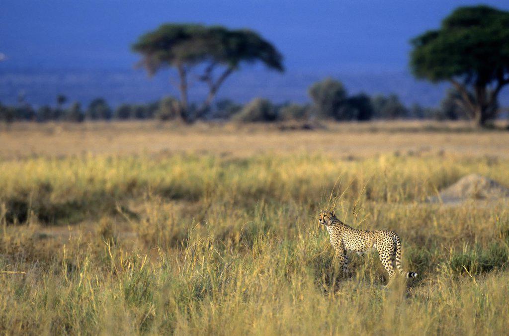 kenya, amboseli national park, cheetah looking for prey : Stock Photo