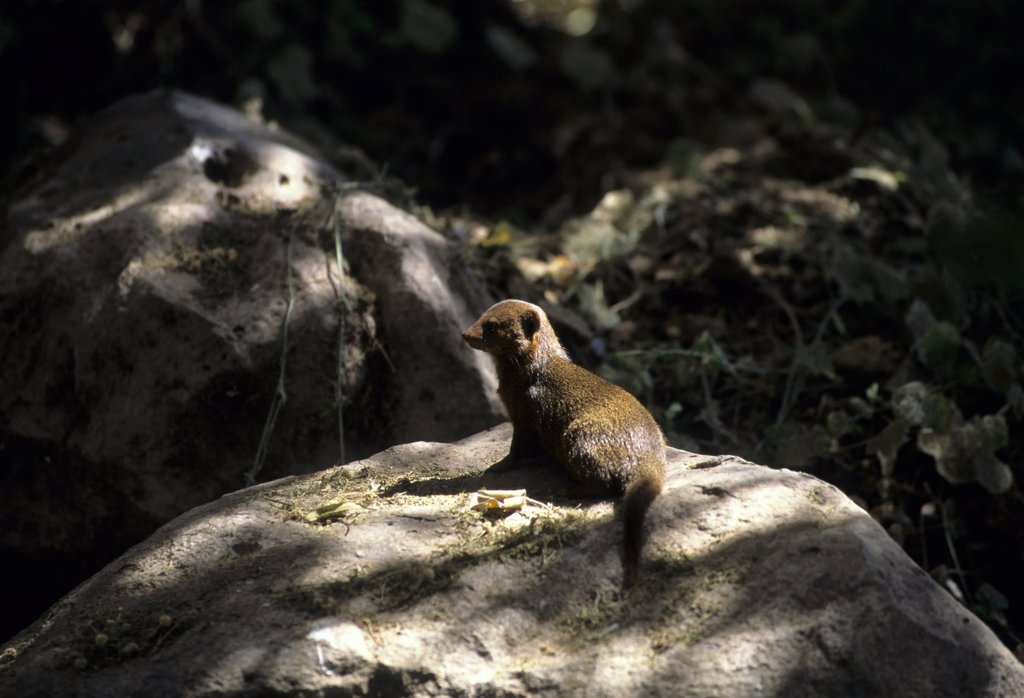 Stock Photo: 4168-6504 kenya, amboseli national park, dwarf mongoose