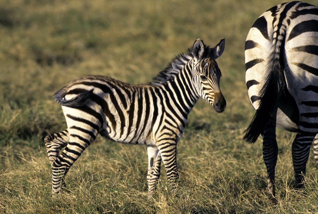 kenya, amboseli national park, zebra baby : Stock Photo