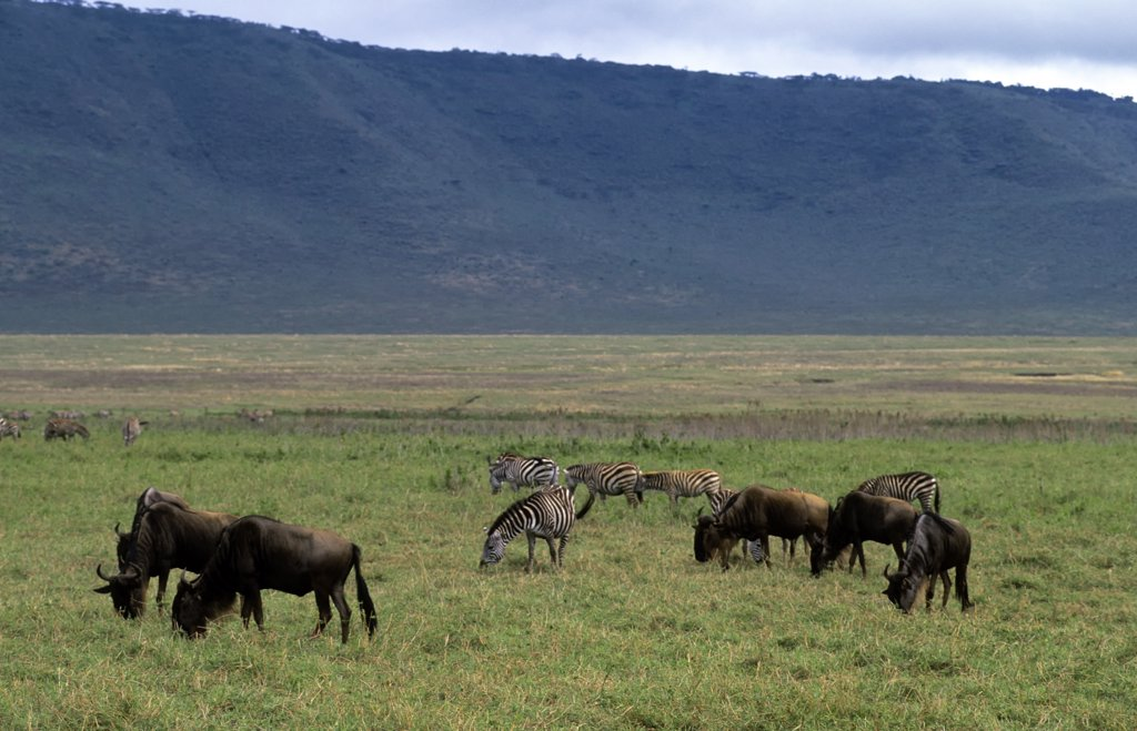 Stock Photo: 4168-6523 tanzania, ngorongoro crater, wildebeeste and burchell's zebras
