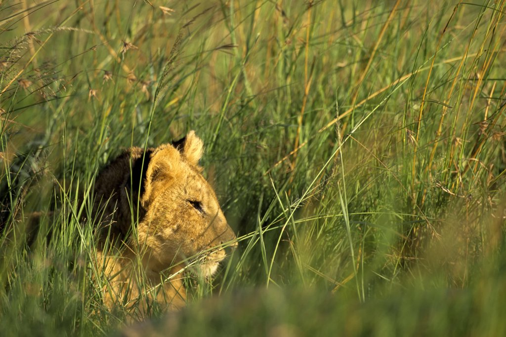 Stock Photo: 4168-6600 kenya, masai mara, lions, lion cub in grass