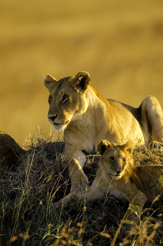 kenya, masai mara, lions, lioness with cub on hill : Stock Photo