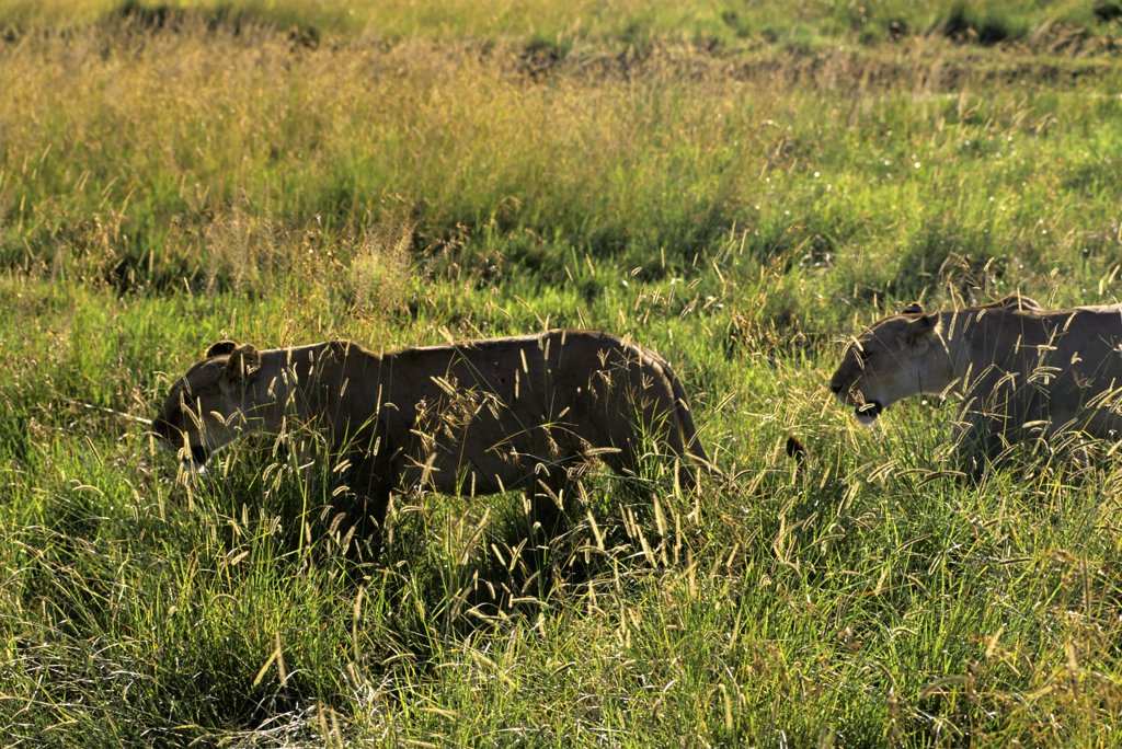 kenya, masai mara, lions, lioness walking : Stock Photo