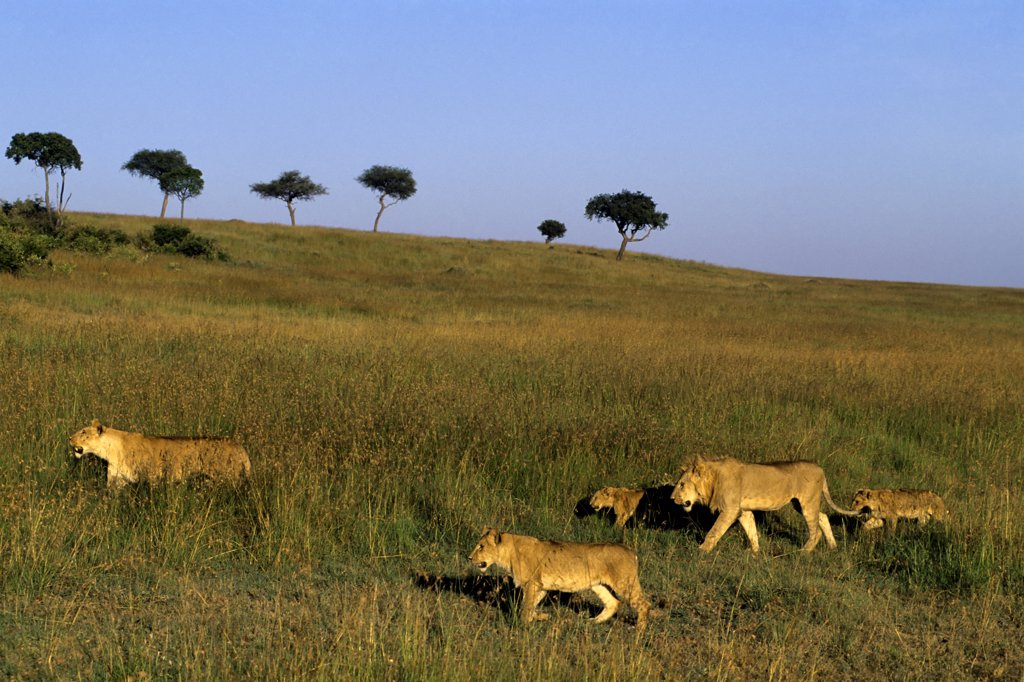 kenya, masai mara, pride of lions walking through grass : Stock Photo