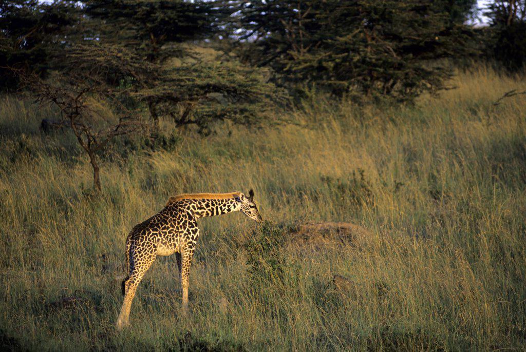 kenya, masai mara, masai giraffe baby : Stock Photo