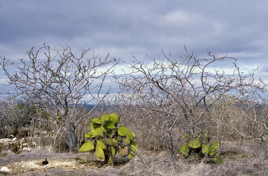 ECUADOR, GALAPAGOS ISLANDS SEYMORE ISLAND, LANDSCAPE WITH OPUNTIA CACTUS : Stock Photo