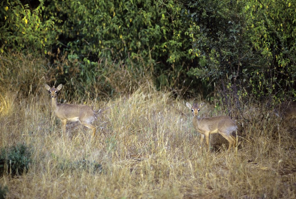 Stock Photo: 4168-7463 Kenya, Samburu, Kirk's Dik-Diks (Madoqua Kirkii) in grass