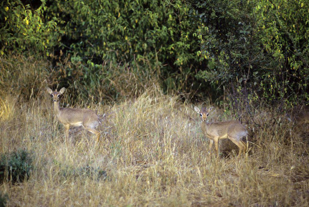Kenya, Samburu, Kirk's Dik-Diks (Madoqua Kirkii) in grass : Stock Photo