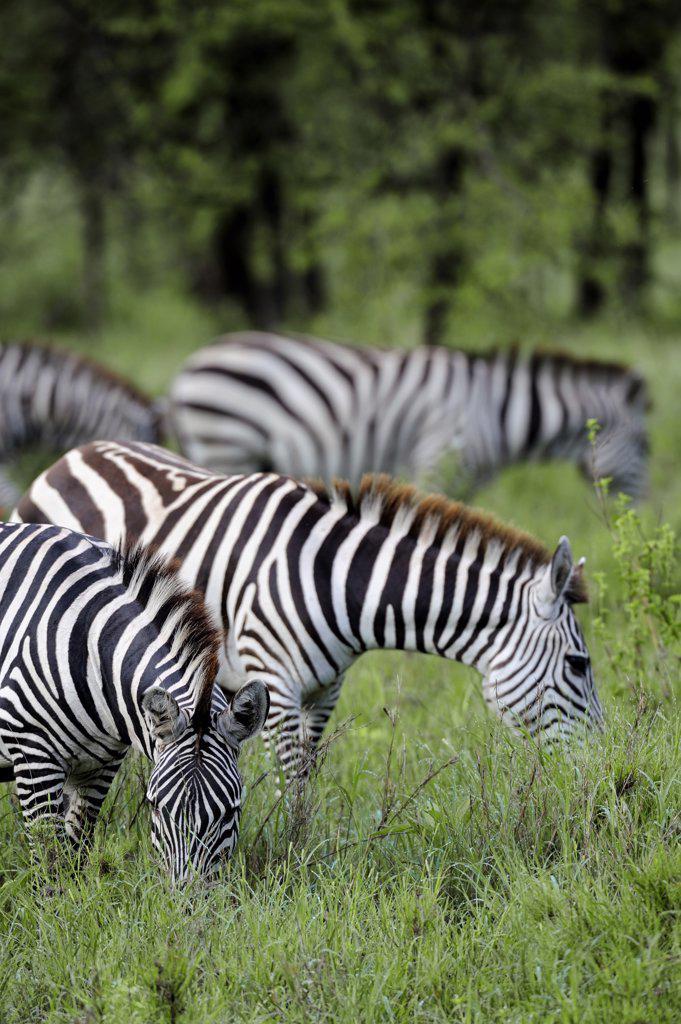 Tanzania, Serengeti National Park, Burchell's Zebras grazing : Stock Photo