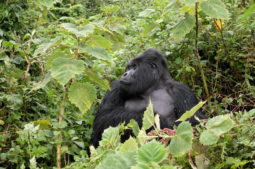 Stock Photo: 4168-7618 Rwanda, Volcano National Park, Mountain Gorilla (Gorilla Gorilla Beringei)