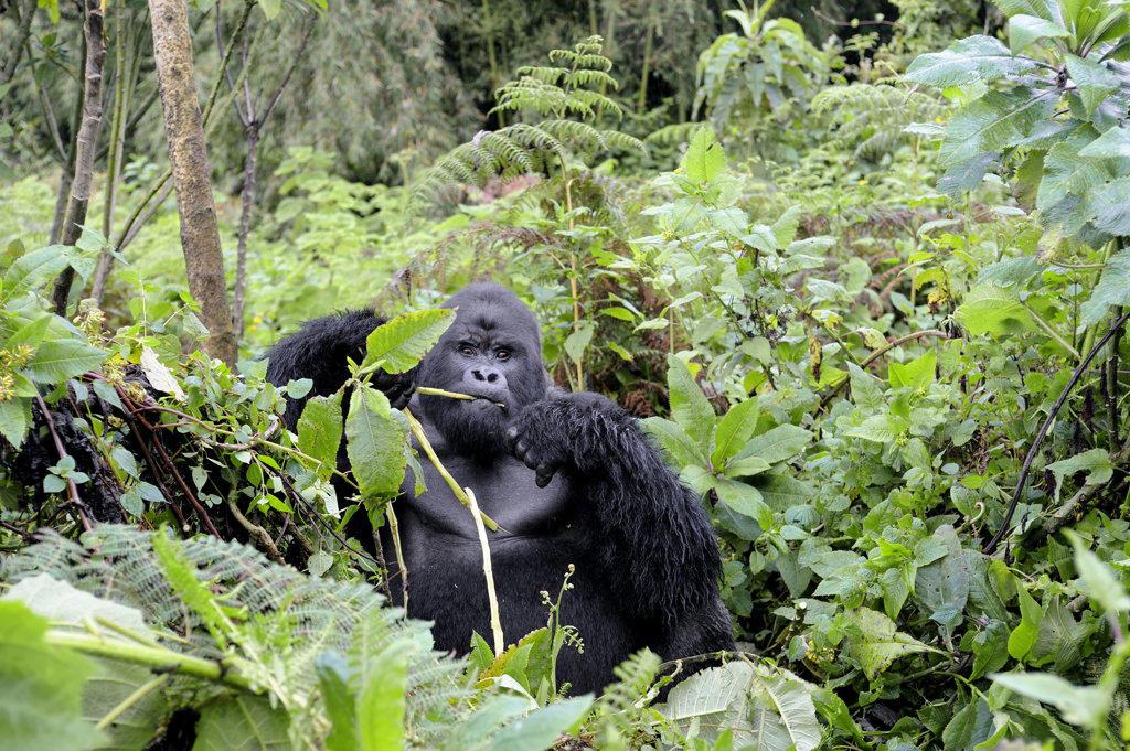 Stock Photo: 4168-7630 Rwanda, Volcano National Park, Mountain Gorilla (Gorilla Gorilla Beringei)