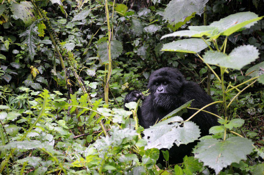 Stock Photo: 4168-7636 Rwanda, Volcano National Park, Mountain Gorilla (Gorilla Gorilla Beringei)