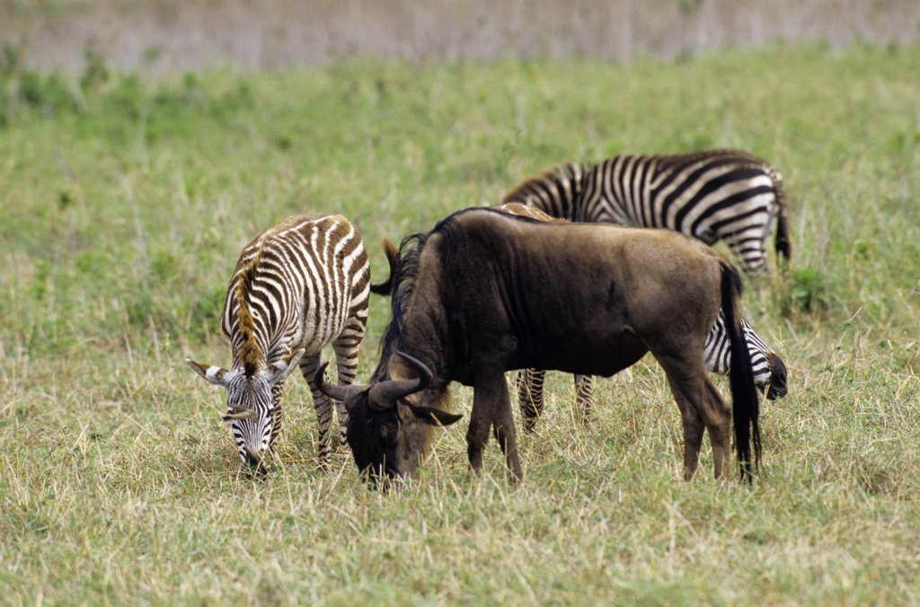 Tanzania, Ngorongoro Crater, Wildebeeste And Burchell'S Zebras : Stock Photo