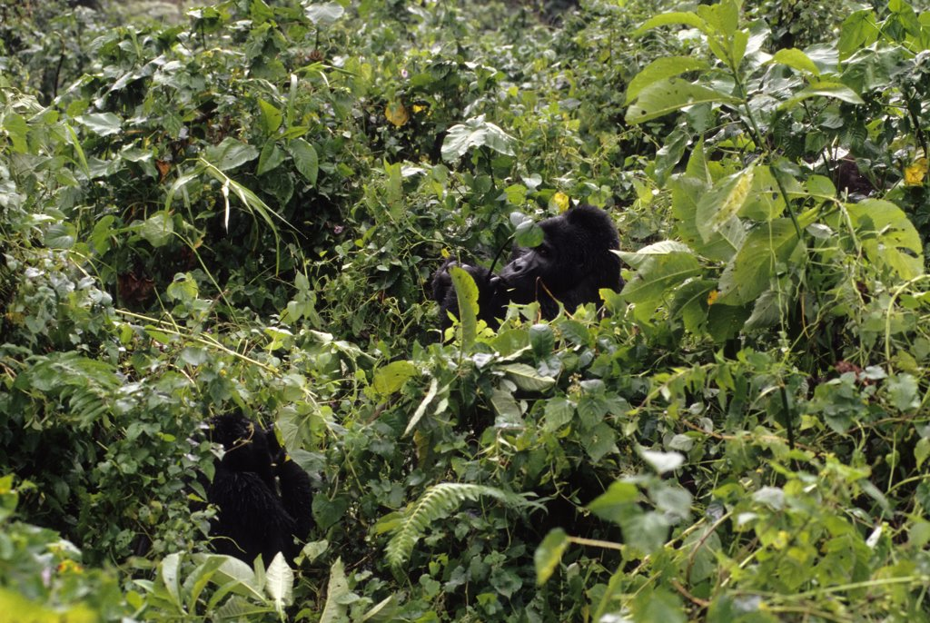 Uganda, Bwindi Impenetrable Forest, Mountain Gorillas, Silverback Feeding : Stock Photo